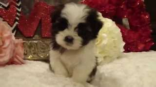 Hermes Male Shorkie (shih Tzu And Yorkie Mix) Puppy