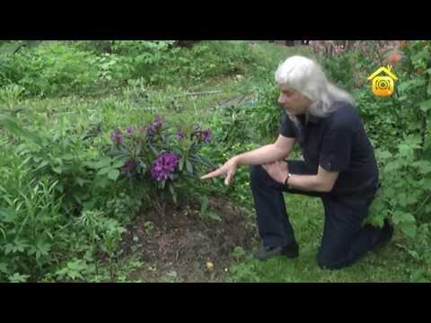 Цветок рододендрон – посадка и уход, фото рододендрона