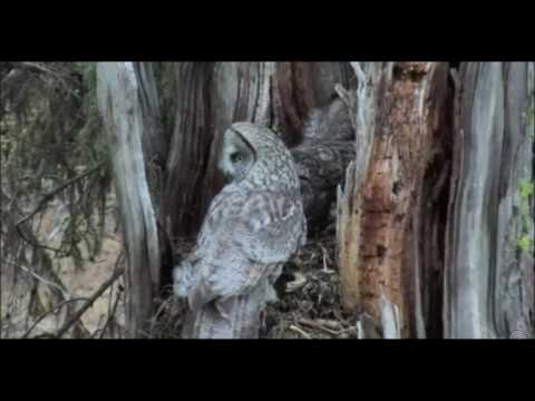 Great Gray Owl Cam Dad Brings A Snack 4-15-17
