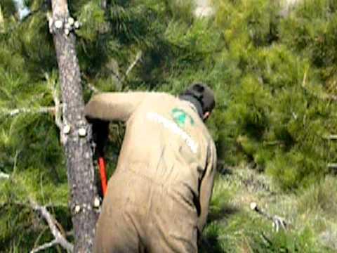 Poda de pino ponderosa (Ea. Los peucos)