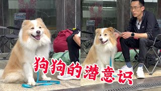 24丨咬人边牧训练第43天(下):纠正狗的护食不能一味的去殴打,而是需要耐心!【犬道APP】