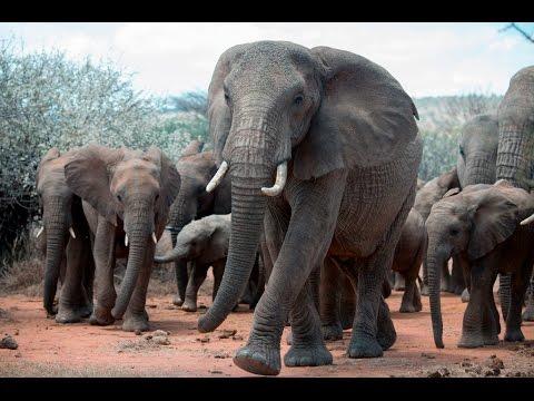 An Elephant's Tale: The Matriarch   WCS
