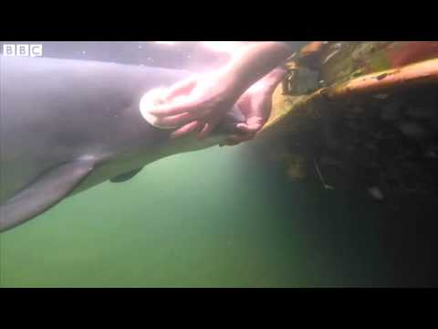 How porpoises use sound to hunt - YouTube