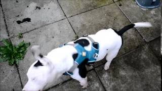 Staffordshire Bull Terrier Testing Ruffwear Front Range Harness