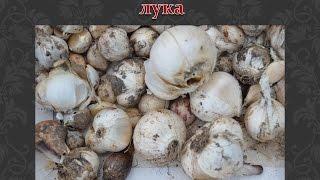 Декоративный лук  Посадка луковиц