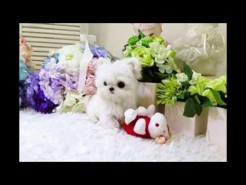 Posh Pocket Pups | Finest Toy Teacup Puppies