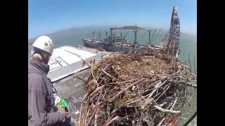 Osprey Rescue