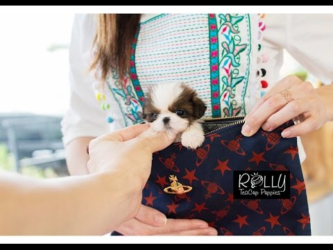 Pocket Size Teacup ShihTzu Very Cute! One of a Kind :D Lucy - Rolly Teacup Puppies