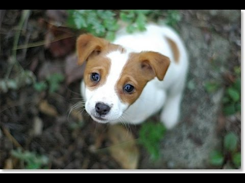 Jack russell terrier puppy youtube - Jack russel queue coupee ...