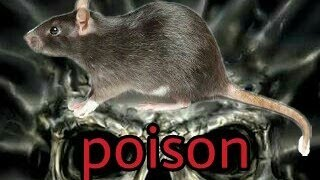 the world's most toxic rat poison ZINCH PHOSPHIDE APPLICATION FOR FIGHT RATS BEST RAT POISON KILLER