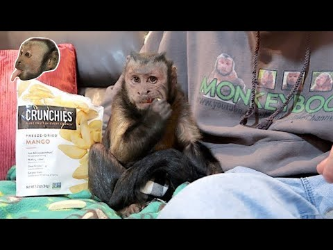 Monkey Talks To Pet Human About Cunchies MANGO