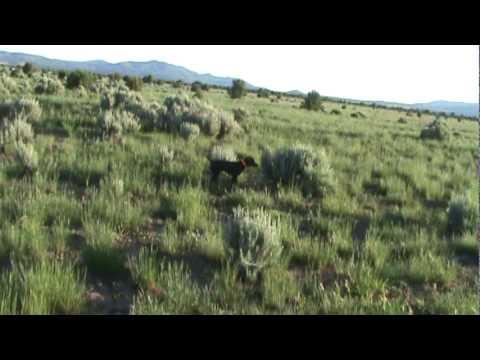 German Shorthair Pointer Puppy hunting Bob White Quail