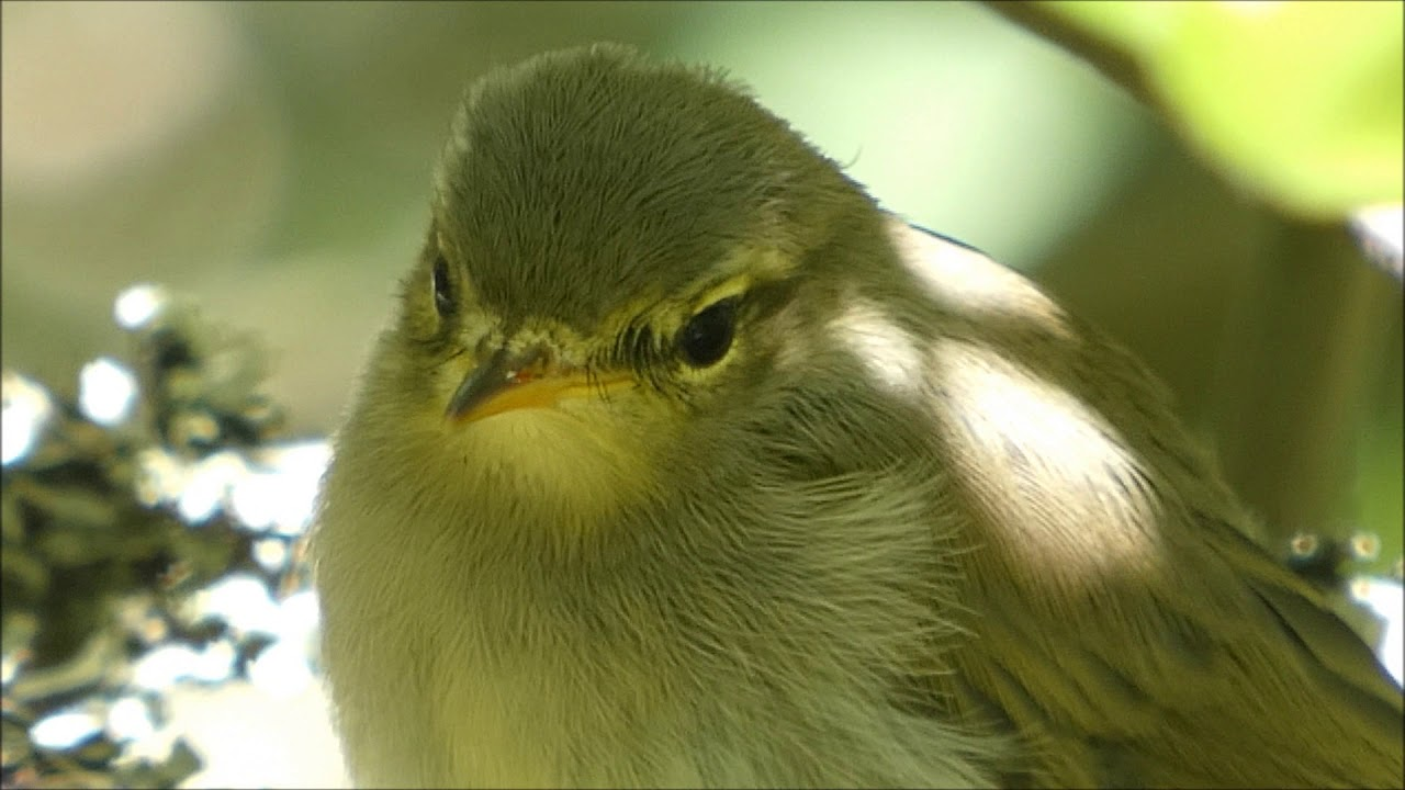 Tunnista Linnut