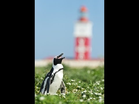 The African Penguin icon of Algoa Bay Hope Spot