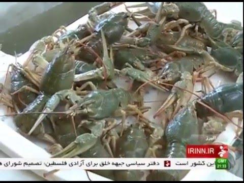 Iran Exports Alive Super Scampi Shrimps, Alborz province صادرات شاه ميگو زنده استان البرز ايران