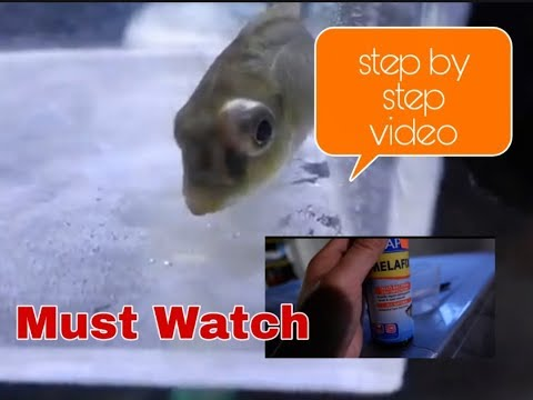How To Cure Cichlid Popeye