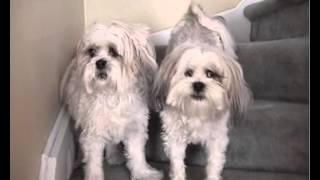 Lhasa Apsos Demonstrating Safe Dogs Playing