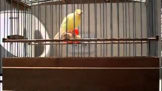 Russian Canary Singing Original russian song.
