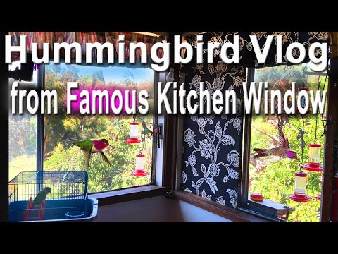 See CRAZY Hummingbird Setup Where 100+ Feed Daily in Kitchen Window Where Nest Built & Raised Babies