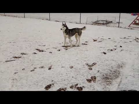 Husky First Time In The Snow