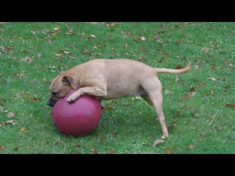 Staffordshire Bull Terrier Bo and the horse ball.