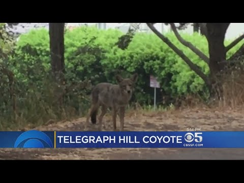 Concerns Over Telegraph Hill Coyote Becoming Too Comfortable With Humans