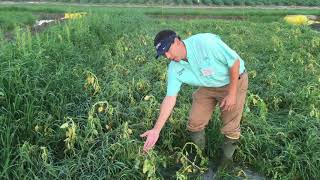 Palmer Amaranth and Barnyardgrass Control