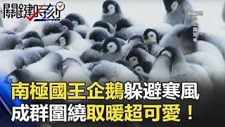 南極「國王企鵝」躲避寒風 成群圍繞取暖「超可愛」! 關鍵時刻 20180514-6 王瑞德 馬西屏