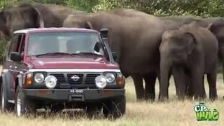 Kaudulla Elephants are entertaining their visitors ! (Kaudulla National Park )