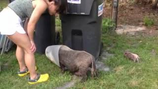 Farm Girl's Pet Pig Knocking Over Trash Can.