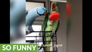 Parrot talks to new parrot buddy in English