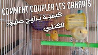 Comment Coupler les Canaris   كيفية تزاوج طيور الكناري