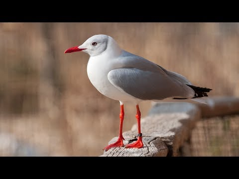 Hundreds of red-billed gulls spend winter in southwest China city