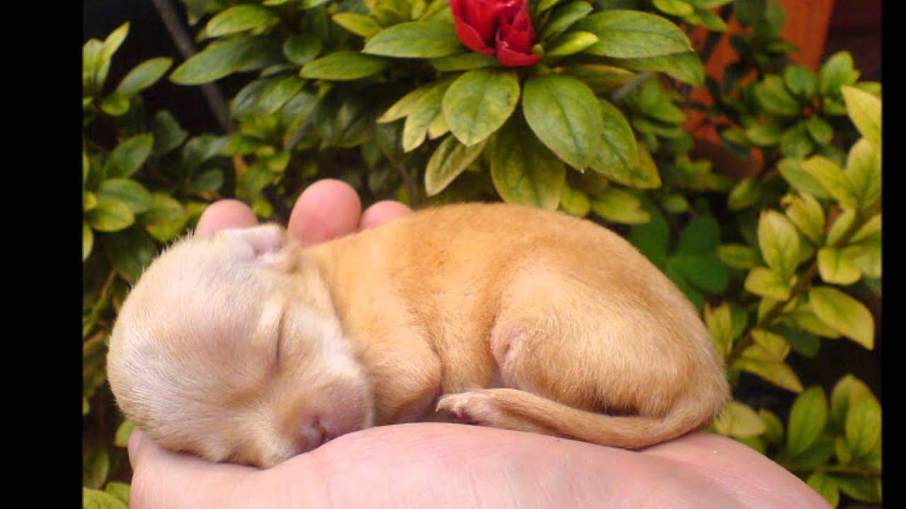 Купить щенка,чихуахуа. Чихуа-хуа, мини, РКФ. 8-905-546-66-92 - YouTube
