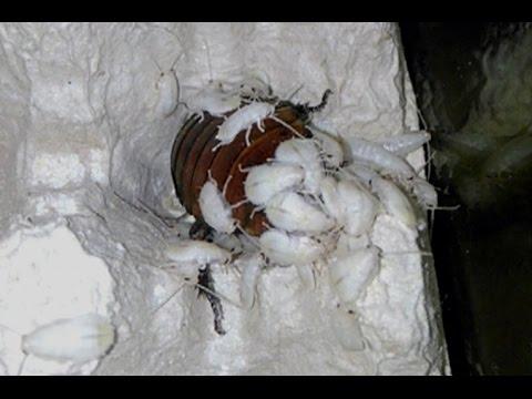 Рождение мадагаскарских шипящих тараканов