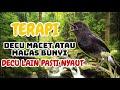 Suara Burung Decu Gacor Terapi Decu Macet Bunyi  Mp3 - Mp4 Download