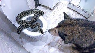 ЗМЕЯ В УНИТАЗЕ / реакция собаки на питона в доме