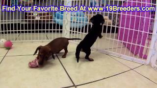 Miniature Dachshund, Puppies, For, Sale, In, Billings, Montana, Mt, Missoula, Great  Falls, Bozeman