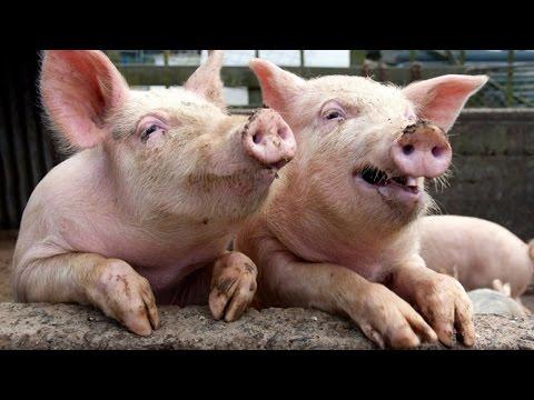 Без конца пердит как свинья во-время траха