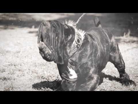 Old World Mastinos, Neapolitan Mastiffs, Neapolitan Mastiff puppies