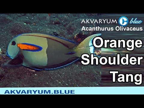 Acanthurus Olivaceus - Orange Shoulder Tang