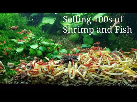 Selling 100s Of Fish And Shrimp