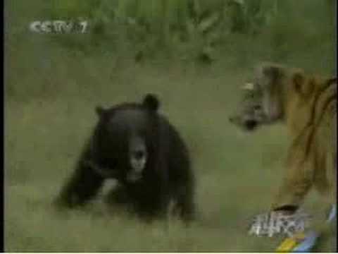 south china tiger vs asiatic black bear youtube