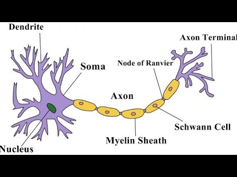 Structure of Neuron | Animal Tissues | 9th class | Bio ...
