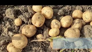 감자직거래합니다.