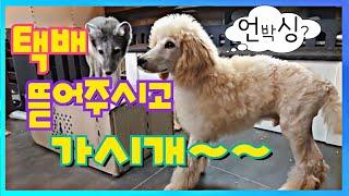 강아지 북극여우 택배 개봉기 Puppy Arctic F…