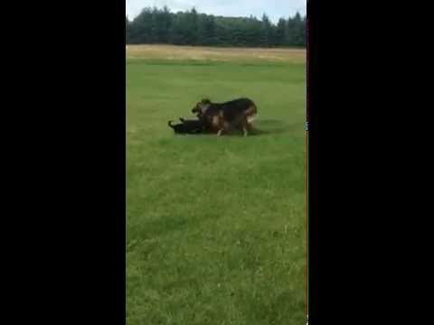 A Mama GSD plays with her pups. Jukin Media Verified ...