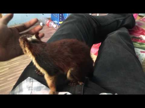 INDIAN GIANT SQUIRREL - Malabar Giant Squirrel - pet playing