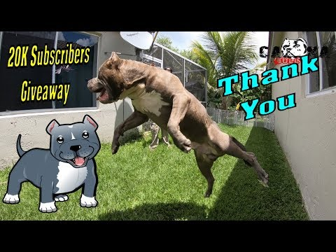 XXL American Monster Bully Kong Showcase ((20,000+ Subscribers)) Large Pitbulls and Bullies Channel