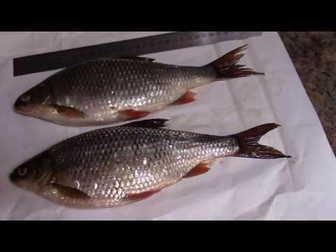 Рыбалка на Ангаре, залив Тихий Плес